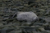 Seal. George's Point, Antarctica