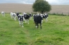 Cows thought I might feed them at Avebury Stone Circle, Wiltshire