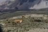 Vicuñas on Chimborazo EC