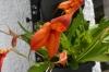 Ecuagenera, orchids of Ecuador, near Gulaceo EC