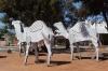 Camels at Norseman WA