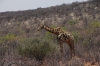 Giraffe. Etosha, Namibia