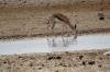 Springbok at the Ozonjuitji m'Bari waterhole, Etosha, Namibia