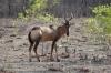 Red Hartebeest, Ongava Safari Drive, Namibia