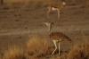Kori Bustard and Springbok, Ongava Safari Drive, Namibia