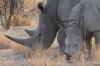 White rhinoceros, Ongava Safari Drive, Namibia