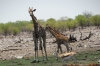 Giraffe mum and young at the Rietfontein waterhole, Etosha, Namibia