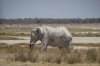 'White Elephants' after a mud bath, Springbokfontein & Batia waterholes, Etosha, Namibia