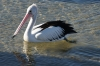 Pelican at Streaky Bay