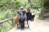 Lamas at Peguche Falls EC