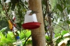 Hummingbirds at Mariposario (butterfly farm), Mindo EC