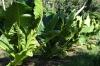 Farmland, including root vegetables with massive leaves, Tongatapu Island, Tonga