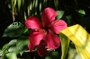 Hibiscus on Fafa Island, Tonga