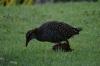 Birds on Fafa Island, Tonga