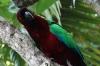 Fijian parrot, red feathers were traded, Fafa Island, Tonga