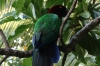 Fijian parrot, red feathers were traded, Fafa Island, Tonga