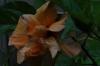 Hibiscus from our outdoor bathroom, Nui Fale, Fafa Island, Tonga