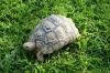 Leopard tortoise at Emanya @ Etosha Resort, Etosha, Namibia