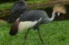 Golden Crowned Crane, Bird Park, Foz de Iguaçu BR