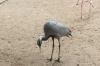 Demoiselle Crane. Bird Park, Foz de Iguaçu BR