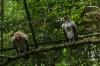King Vulture. Bird Park, Foz de Iguaçu BR