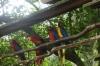 Macaws. Bird Park, Foz de Iguaçu BR