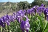 Irises near North Beach, Gallipoli Peninsula