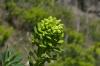 Euphorbia, Gjirokastër AL