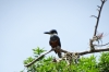 Kingfisher. Islets of Granada