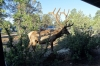 Woke up at the Grand Canyon to the sound of this Elk chomping on a bush outside our unit