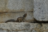Squirrel at the Gyeongju Bulguksa temple, South Korea