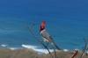 Brazilian Cardinal. Lē'Ahi Diamond Head Crater Walk HI USA