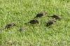 Java Sparrow. Lē'Ahi Diamond Head Crater Walk HI USA