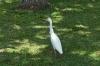 Egret, Kualoa Regional Park, Oahu HI USA