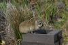 Dosie (rock rabbit) raiding a bin, Hermanus waterfront, South Africa