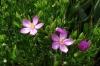 Sea Rose, Harold Porter National Botanical Gardens. Betty's Bay, South Africa