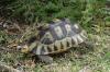 Geometric Tortoise, Harold Porter National Botanical Gardens. Betty's Bay, South Africa