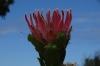 Bot River Protea, Harold Porter National Botanical Gardens. Betty's Bay, South Africa