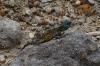 Lizard, Harold Porter National Botanical Gardens. Betty's Bay, South Africa