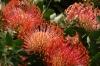 Pincushion, Harold Porter National Botanical Gardens. Betty's Bay, South Africa