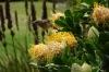 Bird and Pincushion, Harold Porter National Botanical Gardens. Betty's Bay, South Africa