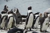 African Penguins (moulting season), Betty's Beach, South Africa