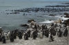 African Penguins (moulting seson), Betty's Beach, South Africa