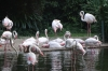 Flamingoes in the pond in Kowloon Park HK