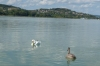 Swan and cygnet, Lake Balaton, Siófok HU
