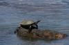 Turtle on the walk to Iguazú Falls AR