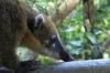 Coati on Lower Trail at Iguazú Falls AR