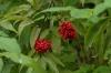 Autumn berries at Imatra FI