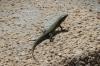 Green lizard, Ggantija Temples, Gozo Island, Malta
