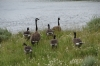 Geese at East Antler Creek, Yellowstone National Park, WY